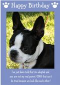 "Boston Terrier-Happy Birthday - ""I'm Adopted"" Theme"